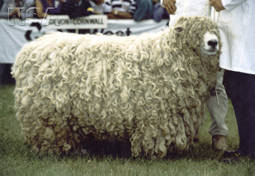 Devon and Cornwall Longwool sheep