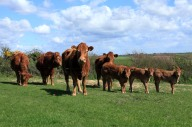 South Devon cattle and 3 little troublemakers in a row.