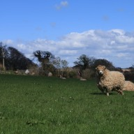 One of the Devon and Cornwall Longwools we were checking on. See her long fringe!